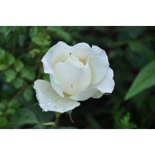 Rosier blanc à grosses fleurs - Mont blanc