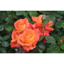 Rosier orange polyantha  - orange sensation