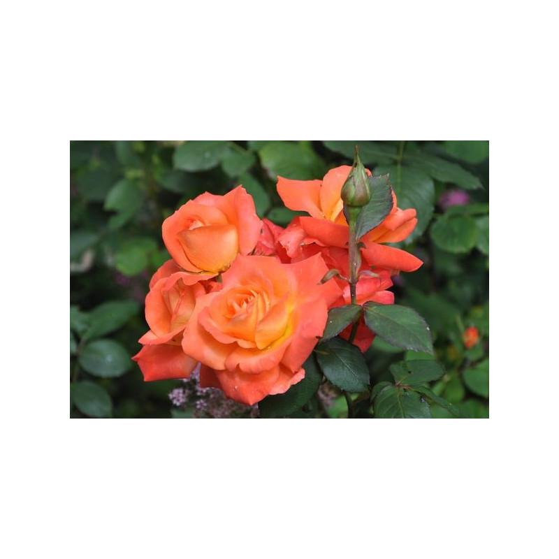 Rosier orange polyantha  - orange sensation