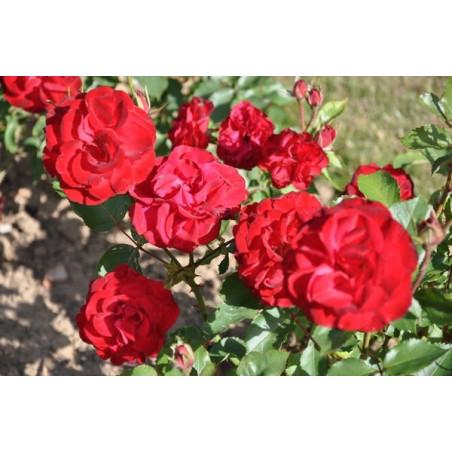 Rosier rouge polyantha - Lili Marleen