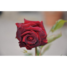 Rosier rouge noir - Black baccara