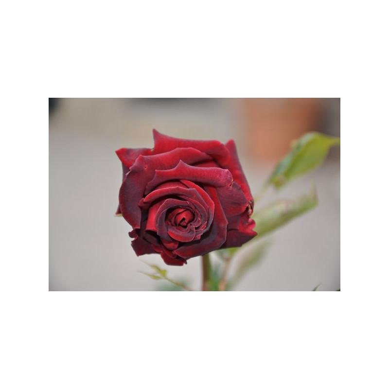 Rosier rouge à grosses fleurs- Black baccara