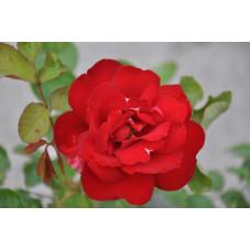 Rosier rouge polyantha - Limar