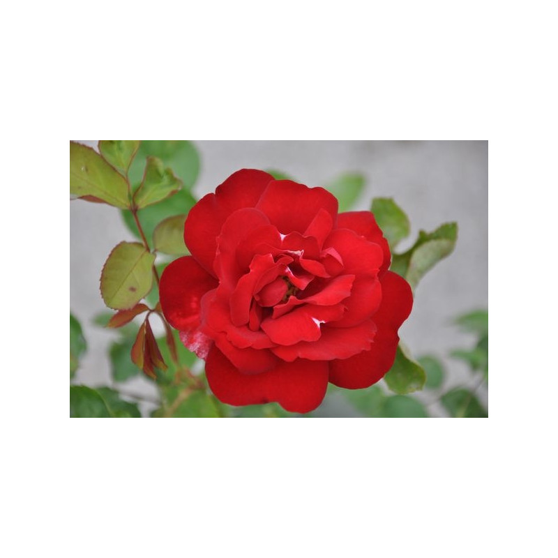 Rosier polyantha rouge - Limar