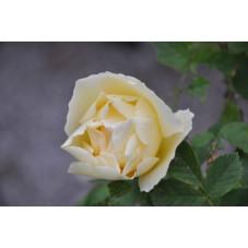 Rosier jaune arbustif - Yellow Dagmar