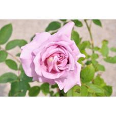 Rosier rose grosses fleurs - Waltztime