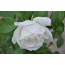 Rosier polyantha blanc - Snow princess