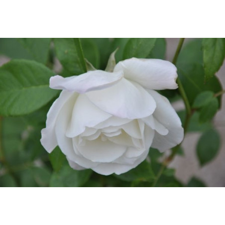 Rosier blanc polyantha  -  snow princess