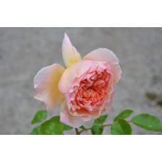 Rosier abricot grosses fleurs - Abraham Darby