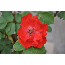 Rosier tige rouge polyantha - Diabolo