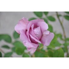 Rosier tige bleu grosse fleur - Waltztime