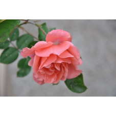 Rosier tige rose polyantha - Favorite