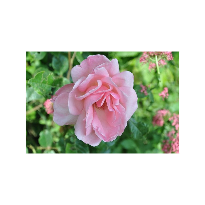Rosier tige rose - Queen Elisabeth