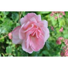 Rosier rose à grosses fleurs  - Queen Elisabeth