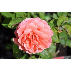 Rosier rose polyantha  - favorite