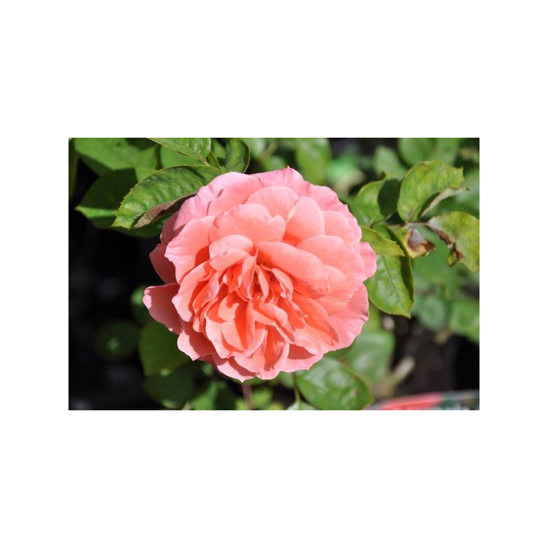 Rosier polyantha rose - Favorite