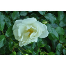 """Rosier couvre sol """" swany """" blanc"""