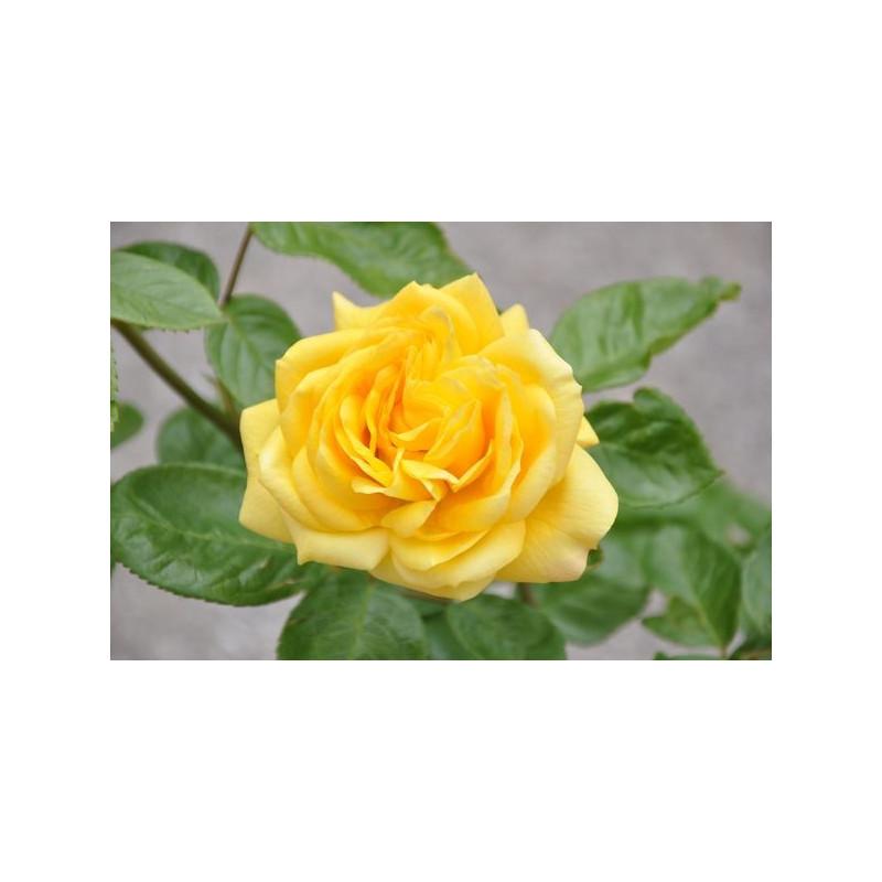 Rosier polyantha jaune - Arthur Bell