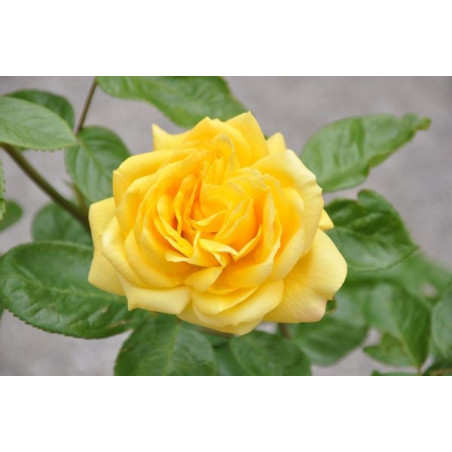 Rosier jaune polyantha  - arthur bell