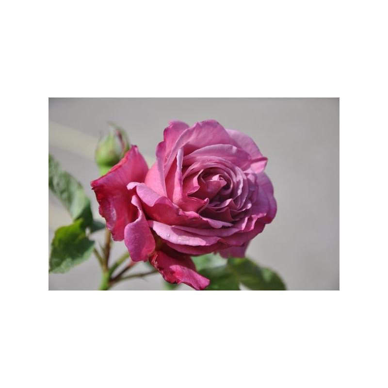 Rosier mauve bleu à grosses fleurs - Charles de Gaulle