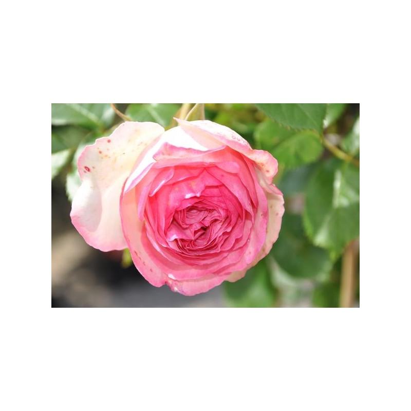 Rosier rose grosses fleurs - Pierre de Ronsard