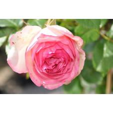 Rosier grimpant rose - Pierre de ronsard