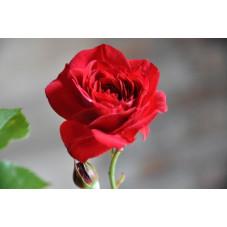 Rosier rouge polyantha - Nina Weibel