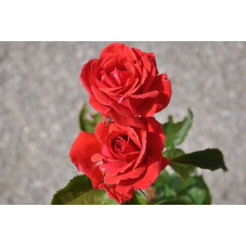 Rosier rouge polyantha - Windekind