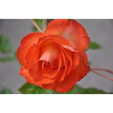 Rosier tige rouge polyantha - Marieken