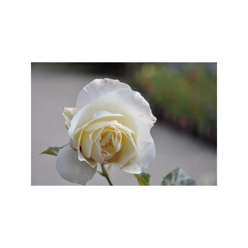 Rosier blanc à grosses fleurs - White symphony
