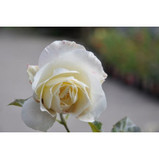 Rosier tige blanc - White Symphonie