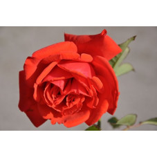 Rosier rouge grosses fleurs - Kanegem