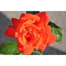 Rosier orange à grosses fleurs - Joro