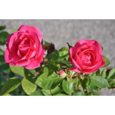 Rosier rose polyantha  - melrose