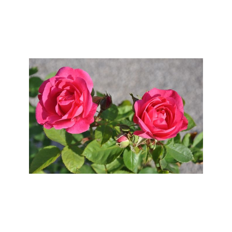 Rosier rose polyantha  - melrose