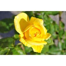 Rosier jaune à grosses fleurs - Lora