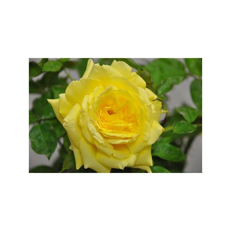 Rosier jaune à grosses fleurs - Gold star