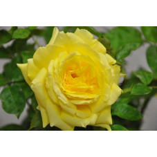Rosier tige jaune - Gold Star