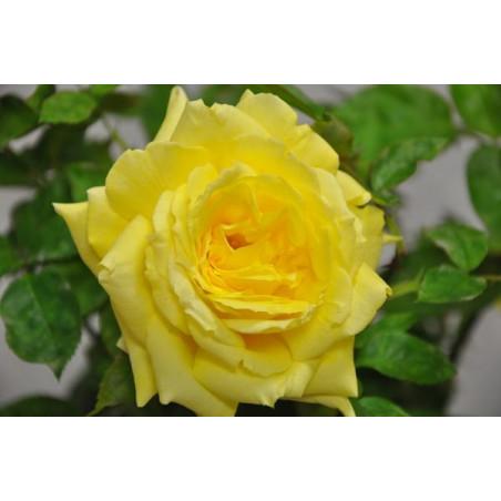 Rosier tige jaune - Goldstar