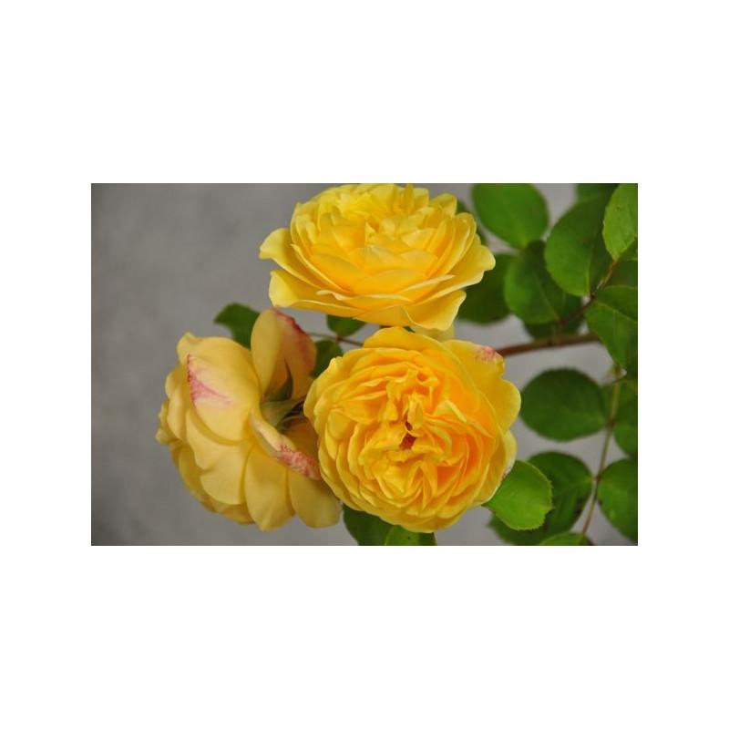Rosier jaune grosses fleurs - Graham Thomas