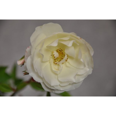 Rosier grimpant blanc rose - snow princess Climbing