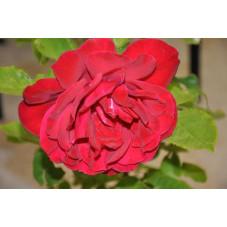 Rosier rouge grosses fleurs - Sénateur burda - Victor hugo