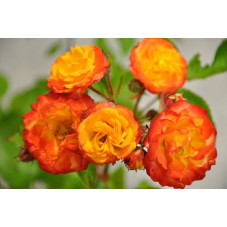 Rosier rouge orange polyantha - Rumba