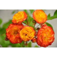 Rosier rouge orange polyantha - Rumba