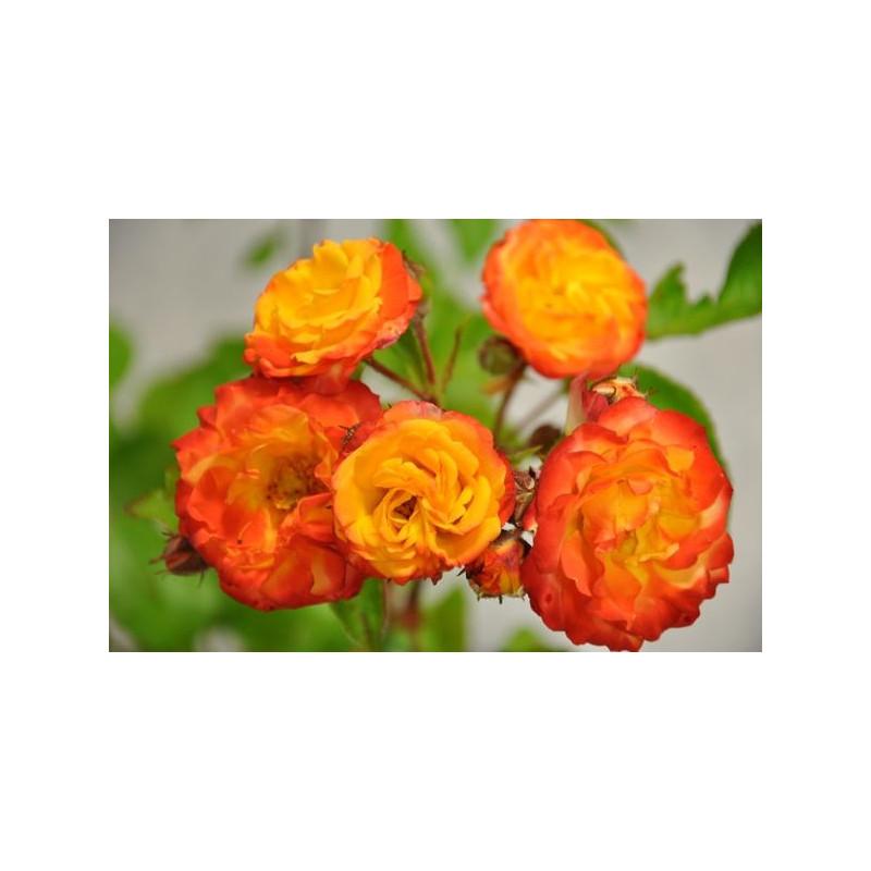 Rosier tige Jaune orange polyantha - Rumba