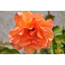 Rosier orange grosses fleurs - Doris tysterman