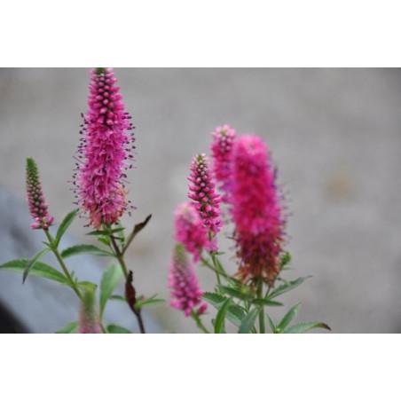 Véronique - veronica spicata heidekind