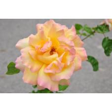Rosier rose à grosses fleurs - Peace