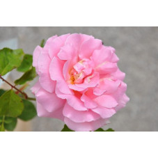 Rosier rose grosses fleurs - Frédéric Mistral
