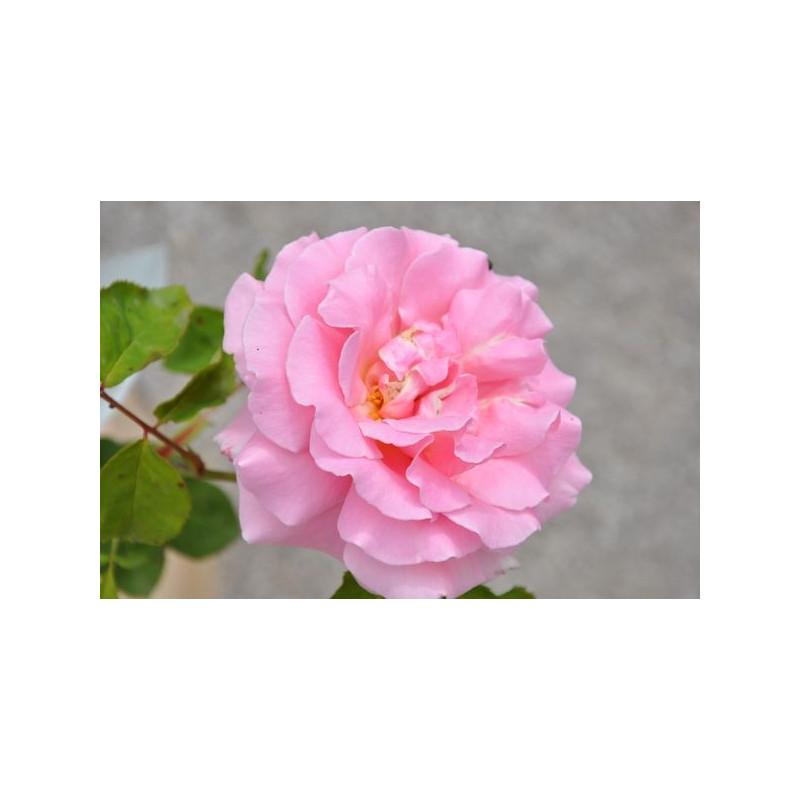 Rosier rose à grosses fleurs - Frédéric Mistral